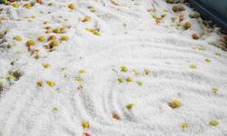 なかまつ農園 梅作り