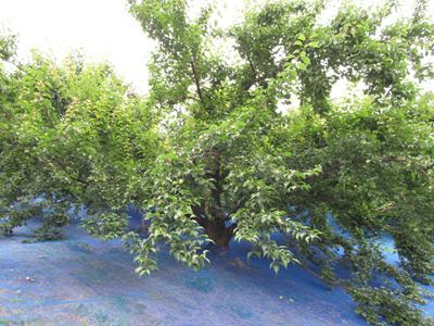 南高梅の木